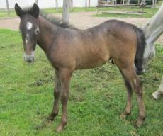 Siglavy Szilaj- 2013 grey foal