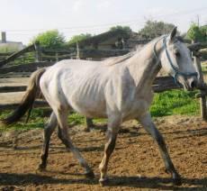 Maestoso Mistrál - 2011 grey foal