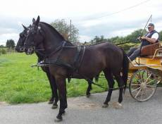 Pair of Black Brothers lipizzan geldings for SALE