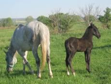 Maestoso Boldizsar - 2012 grey Foal