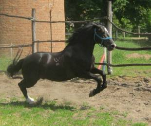 Maestoso Mefiszto training for international level of Dressage